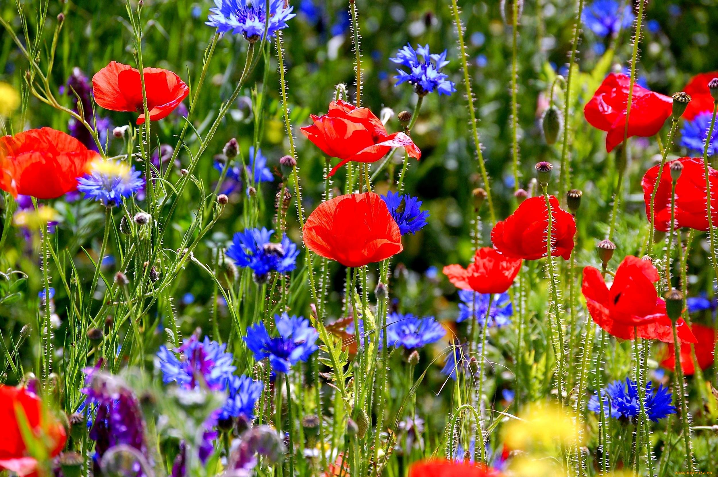 Полевые цветы обои для рабочего стола